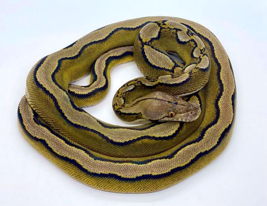 Picture of Super Sunfire Male *Jay's Pick